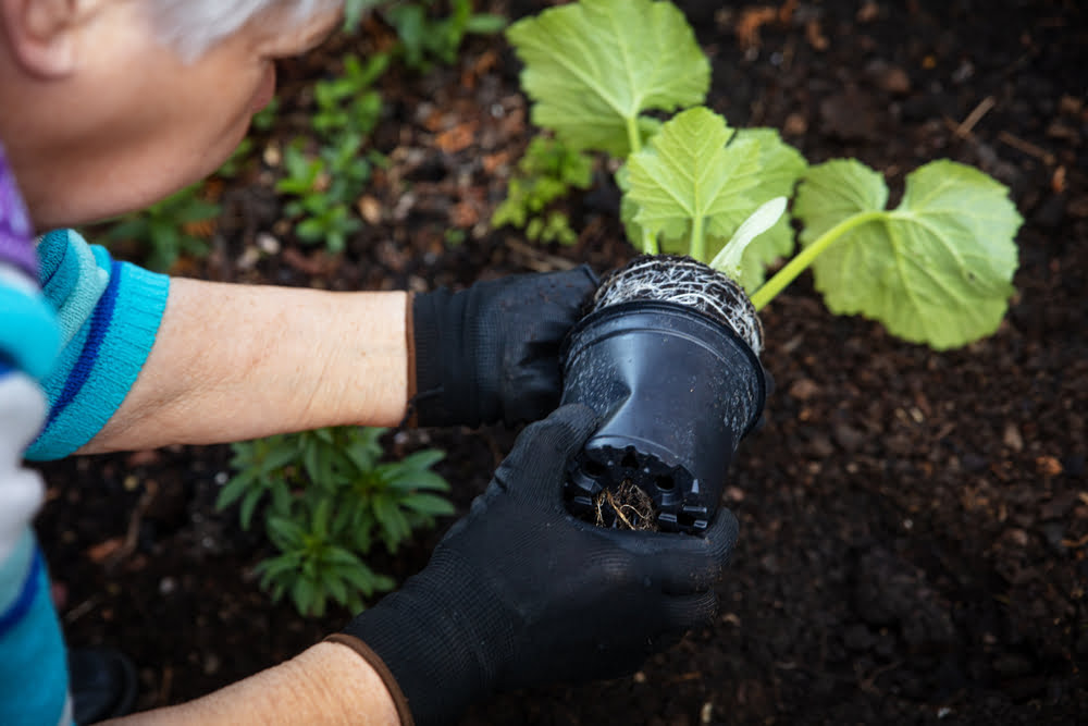 Planting courgettes