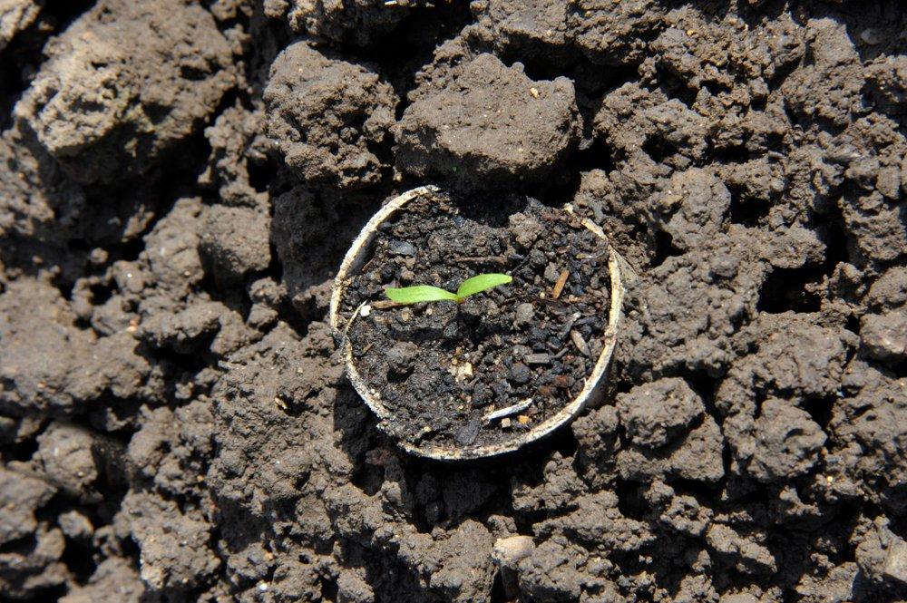 Parsnip seedling in cardboard tube