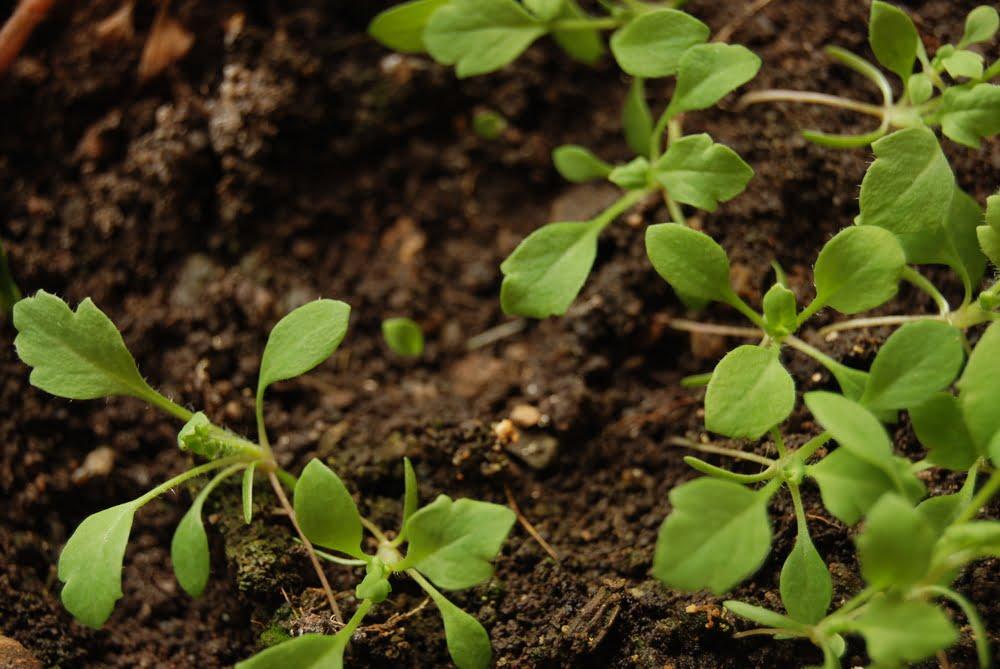 Parsnip seedlings