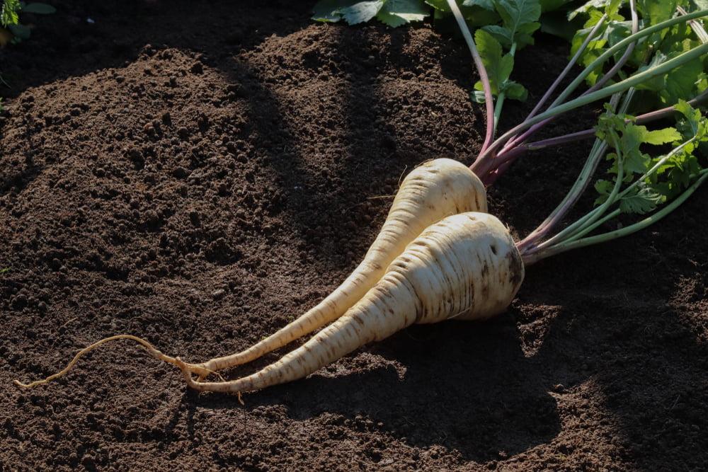 Parsnips on soil