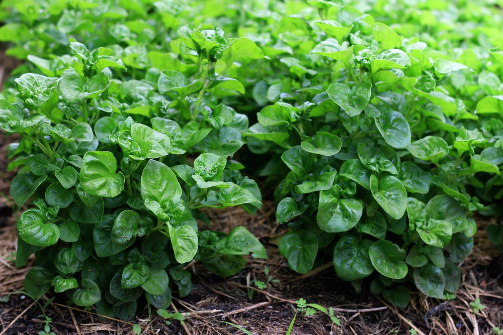 Watercress plants