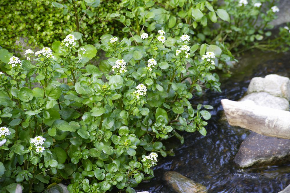 Watercress growing next to pond