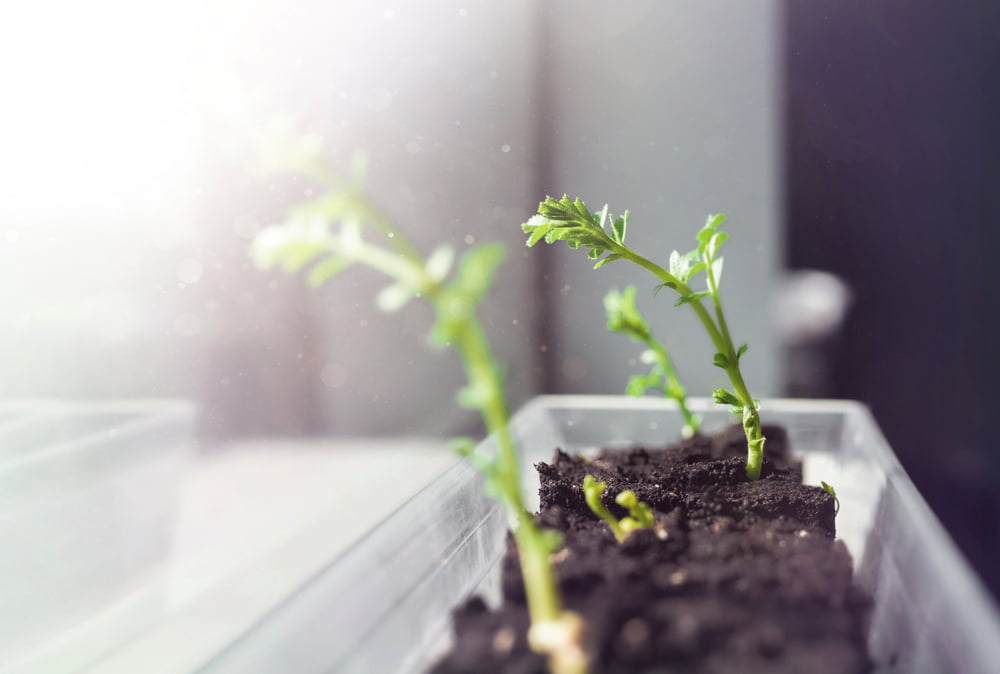 Chickpea seedlings