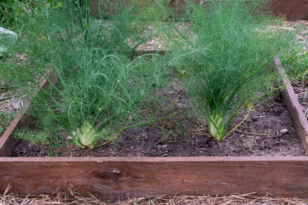 Florence fennel growing
