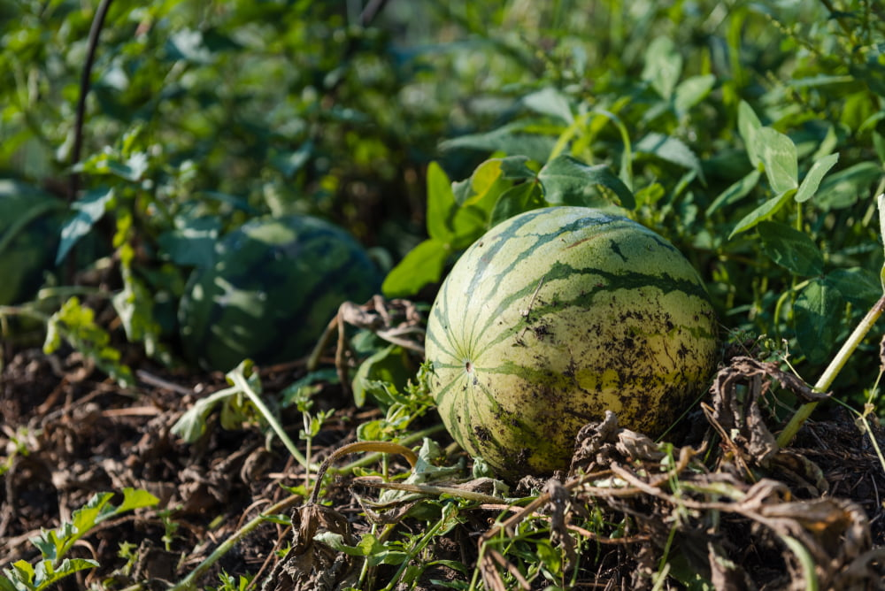 Melon in garden