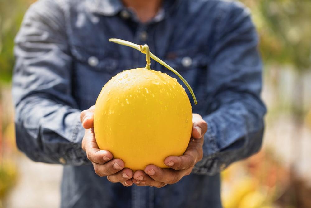 Man holding harvested melon