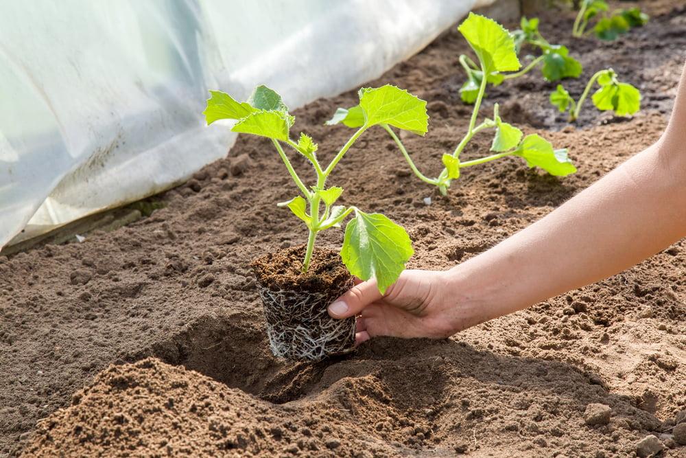 Person planting melon plants