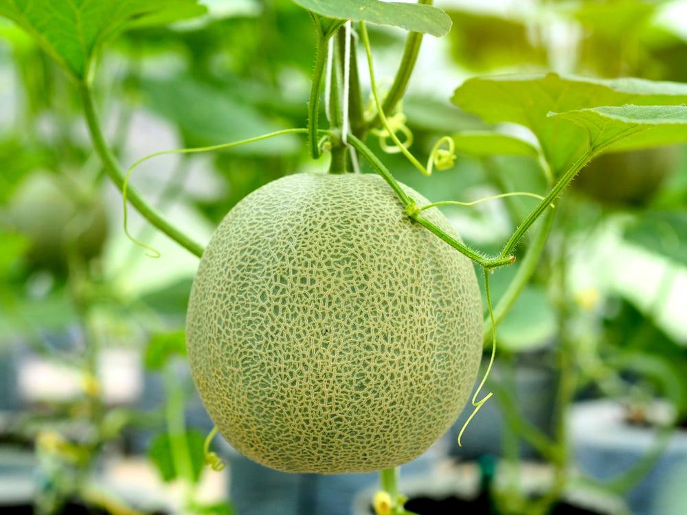 Melon on plant