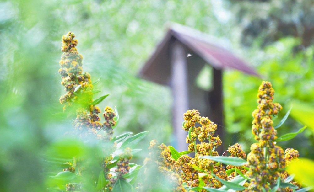 Quinoa plants in garden