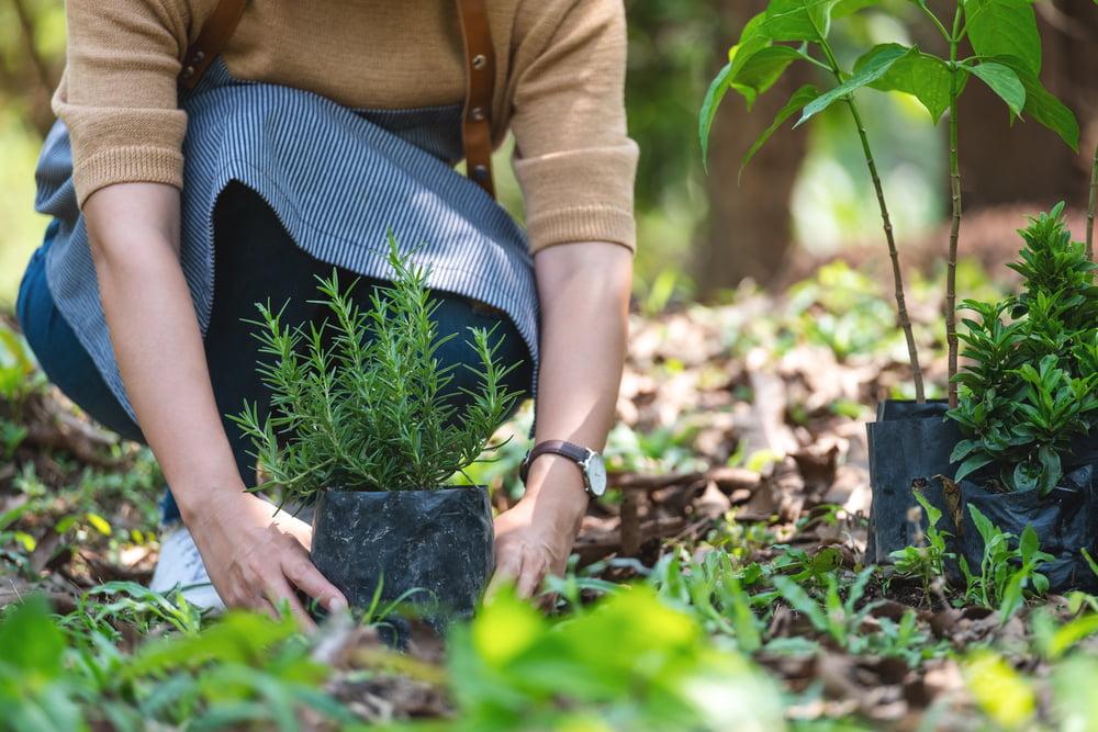 Rosemary planting