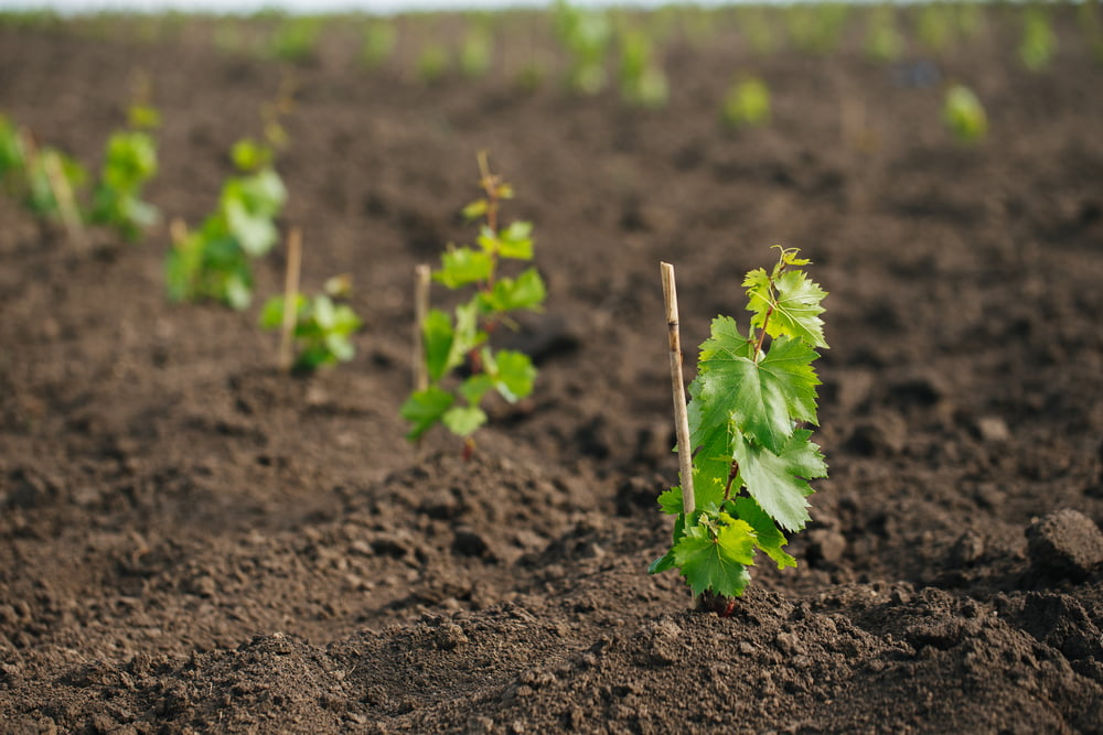 Grapes growing in ground