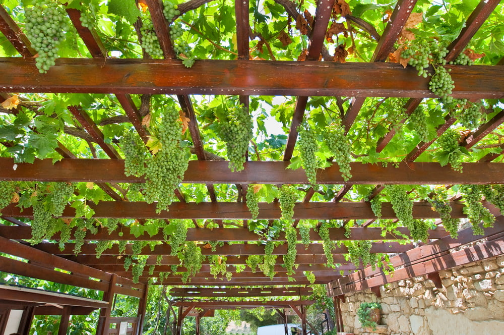 Grapes growing on trellis