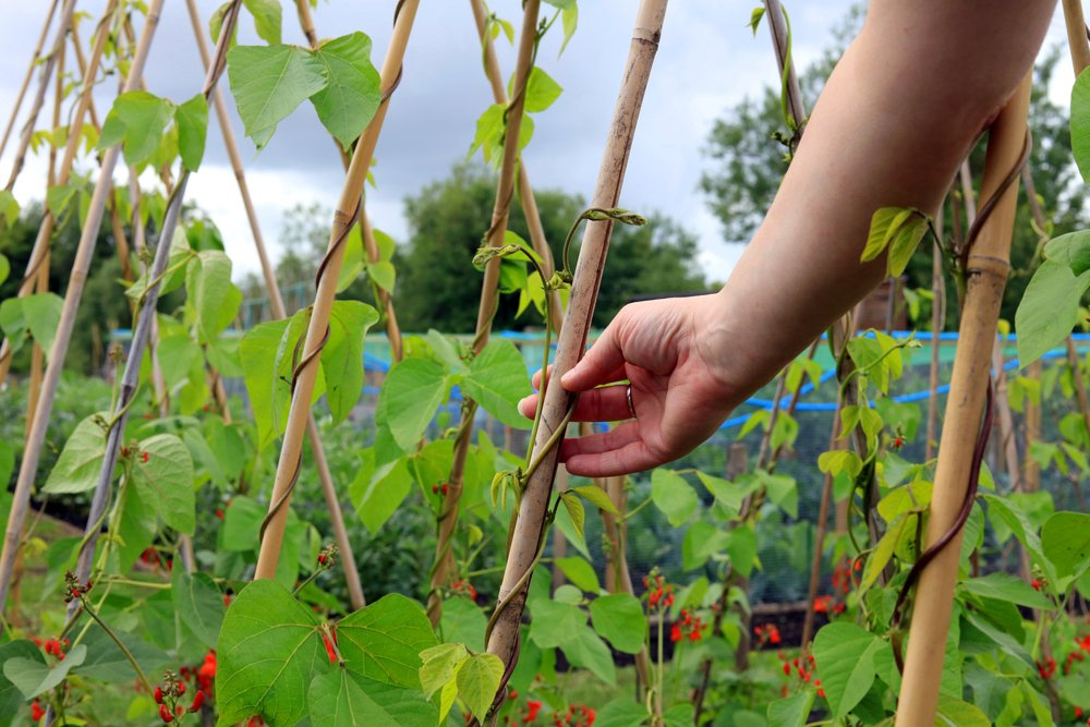 Tying bean plants to canes