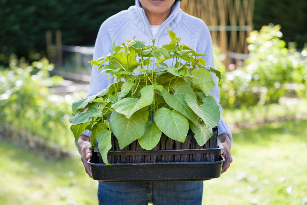 Woman holding tray of runner beans for planting