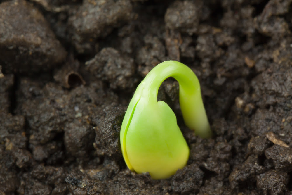 Edamame sprout